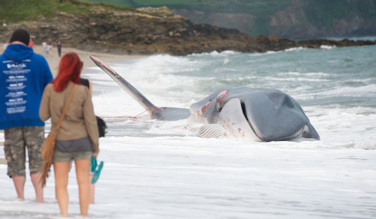Death of a Fin Whale - 13th Aug 2012